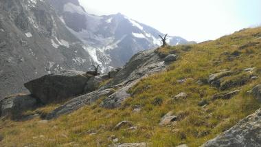 Steinböcke beim Abstieg